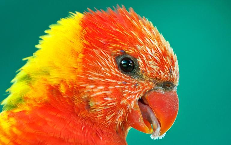 Яркий красивый попугай лори