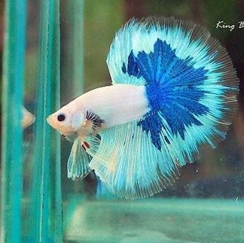 Бело-голубой аквариумный петушок