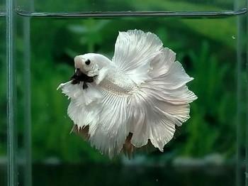 Белый петушок в аквариуме