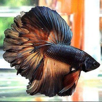 Черно-оранжевый петушок в аквариуме