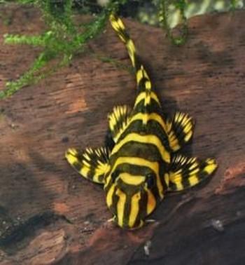 Черно-желтый сом присоска