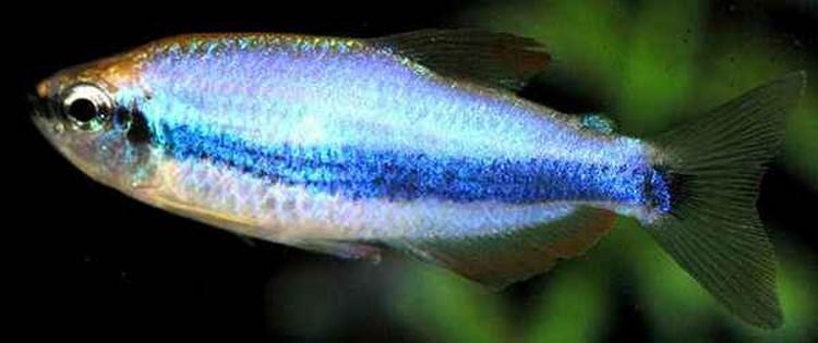 Данио голубой таиландский