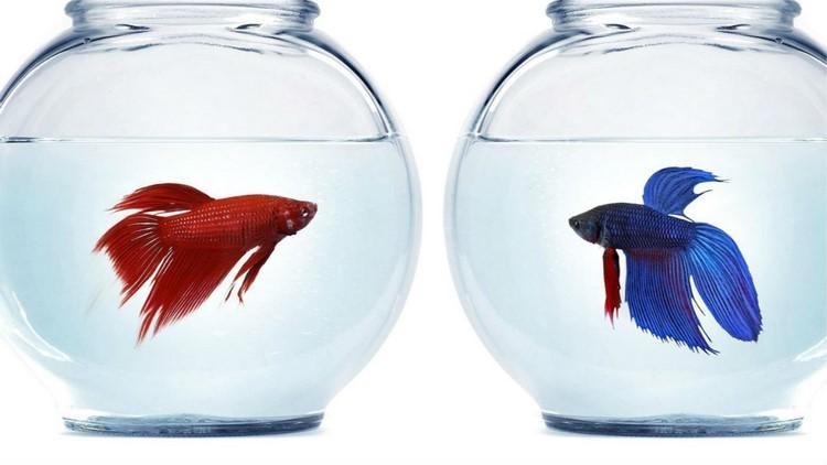Два петушка в разных аквариумах смотрят друг на друга