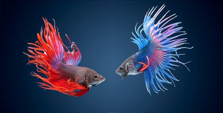 Две красивые рыбки петушок