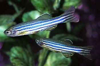 Две рыбки данио рерио
