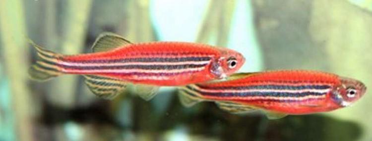 Две яркие рыбки данио в аквариуме