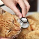 Кота слушает доктор
