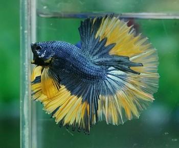 Красивый петушок рыбка с желтыми плавниками