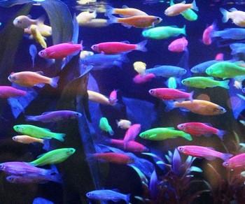 Много аквариумных данио глофиш