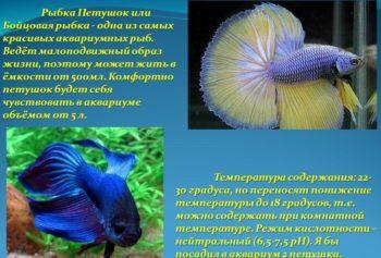 Описание характера аквариумного петушка
