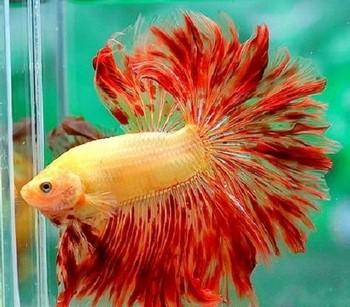 Оранжевый петушок в аквариуме
