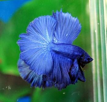 Петушок рыбка синего цвета