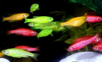 Разноцветные данио в аквариуме