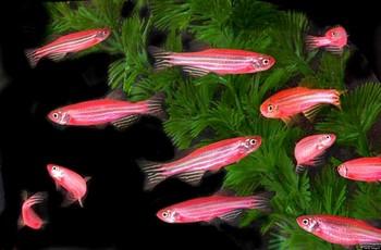 Розовые данио в аквариуме