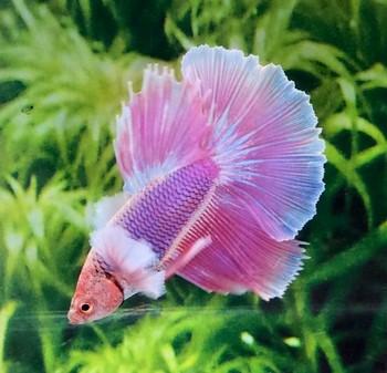 Розовый петушок в аквариуме