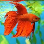 Рыбка красный петушок