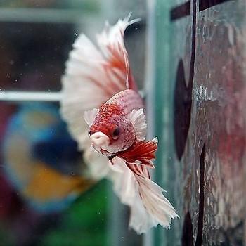 Сиамский петушок красно-белый