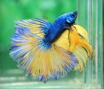 Сине-желтый окрас аквариумного петушка