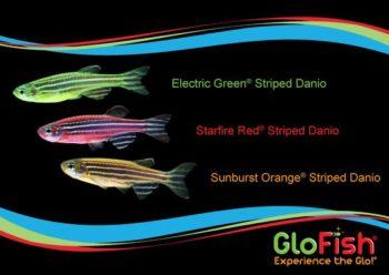 Три окраса флуоресцентных данио