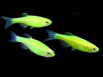 Три зеленые рыбки данио