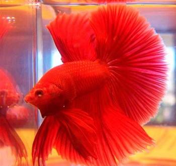Ярко красная рыбка петушок