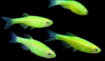 Зеленые флуоресцентные данио