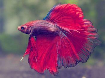 Красный петушок рыбка