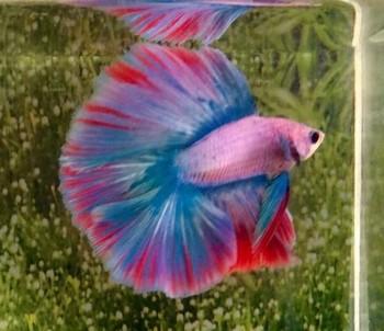 Розовый аквариумный петушок