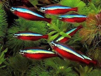 Рыбки красный неон