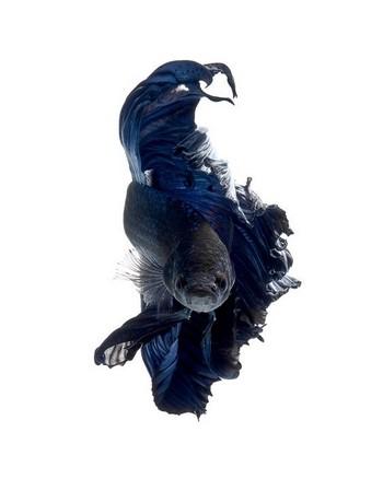Темный петушок