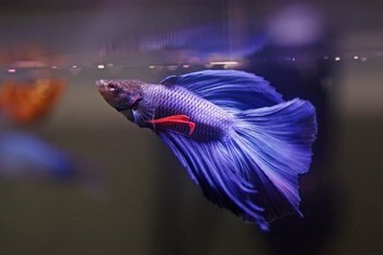 Ярко синий петушок в воде