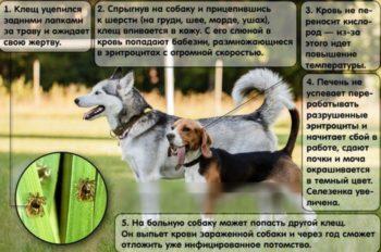 Чем опасны укусы клещей для собак