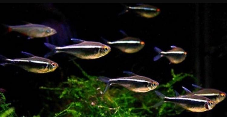 Черные неоны в аквариуме