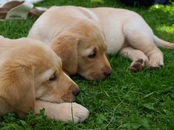 Два щенка лабрадора