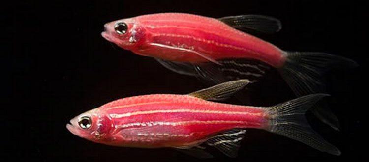 Две рыбки розовых данио