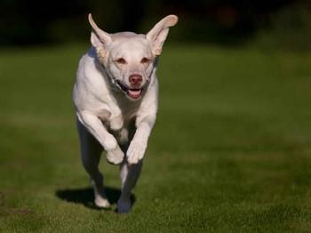 Лабрадор ретривер бежит вперед