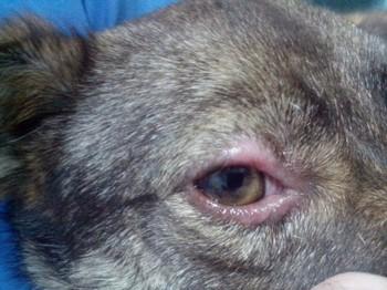 Лысеющая область вокруг глаза собаки