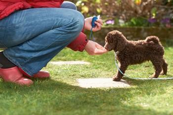Занятия с кликером с щенком