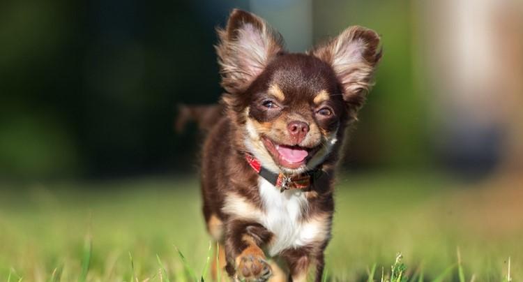 Бегущий щенок чихуахуа