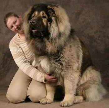 Большая кавказская овчарка