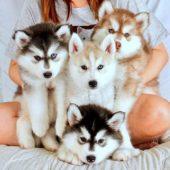 Четыре щенка хаски