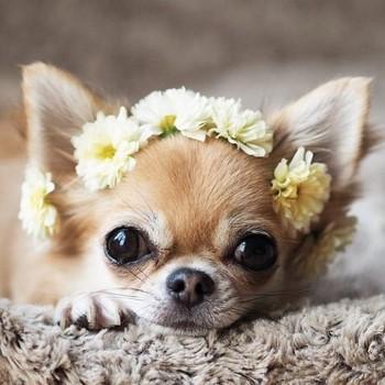 Чихуа с венком из цветов
