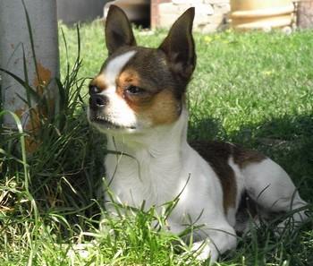 Чихуахуа лежит на траве