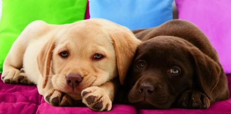 Два щенка лабрадора лежат на кровати
