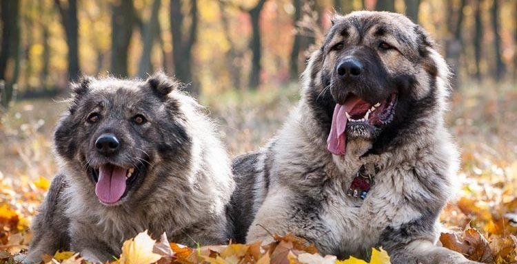Две кавказские овчарки