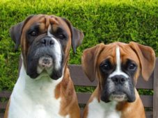 Две собаки боксера