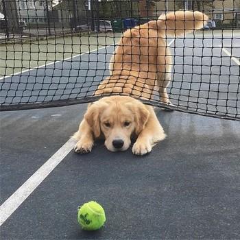 Голд ретривер и теннисный мяч