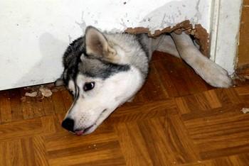Хаски прогрыз дверь