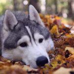 Хаски в листве