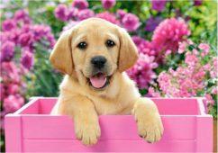 Лабрадор в розовой коробке